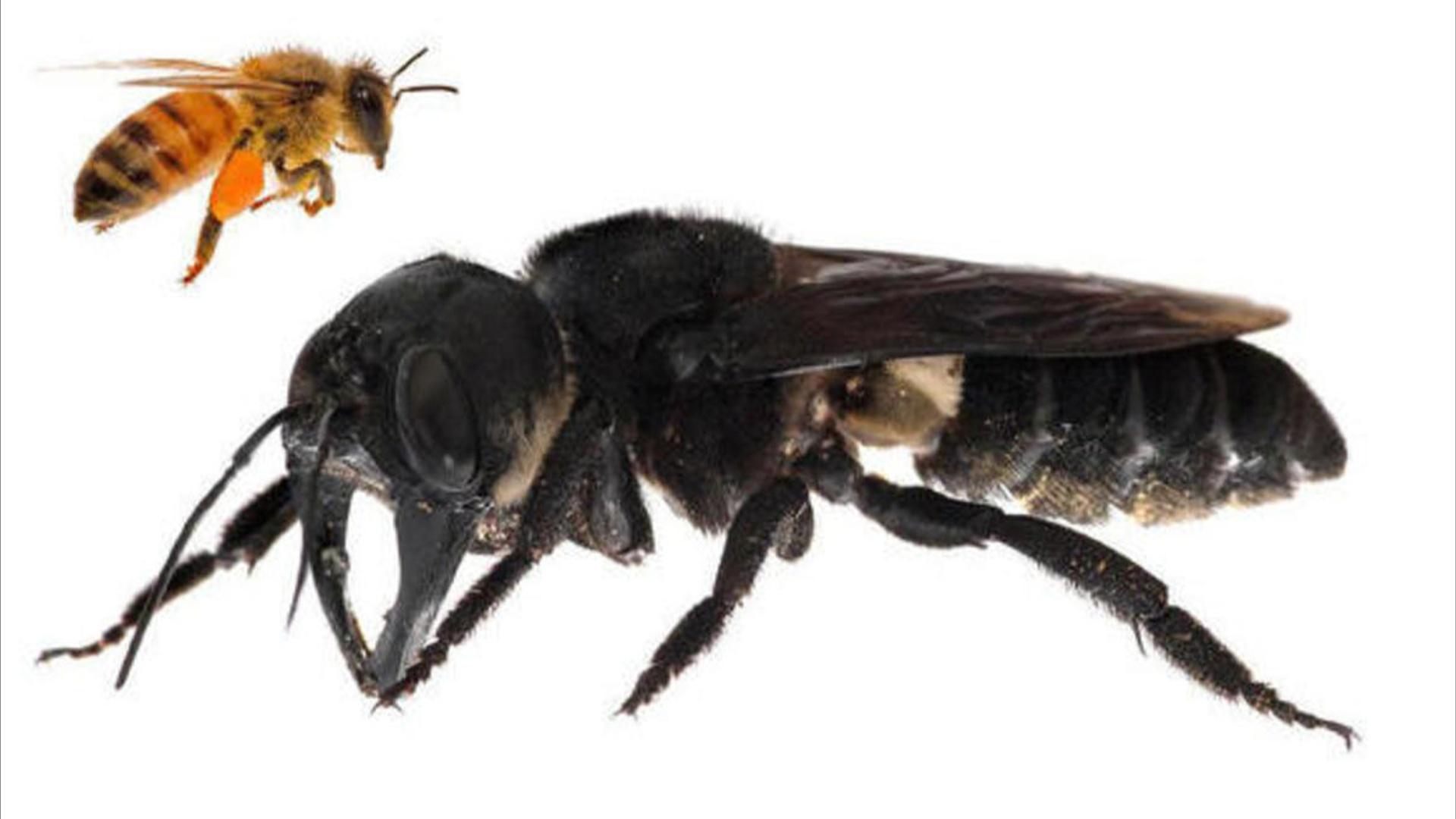Nəsli tükəndiyi bilinən dünyanın ən böyük arısı canlı tapılıb