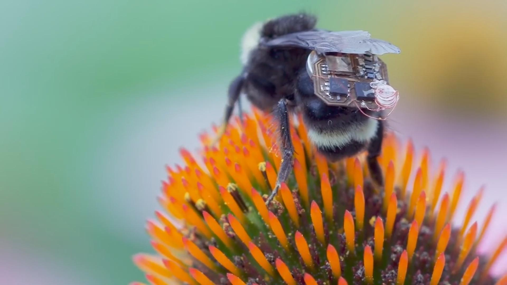 Alimlər arıları kiçik dronlara çeviriblər