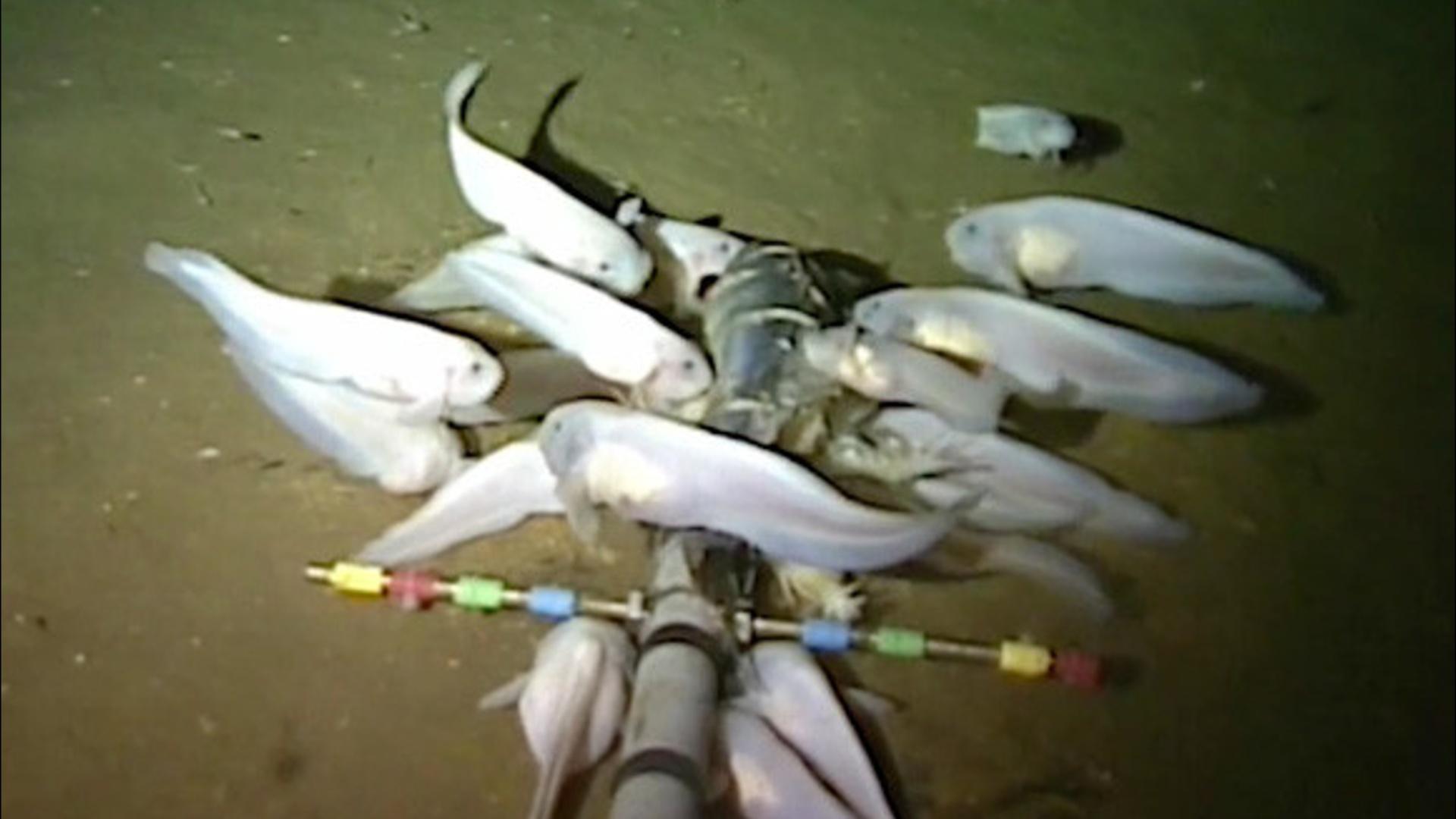 Dünyanın ən dərin yerində yaşayan balıq növü aşkar edilib