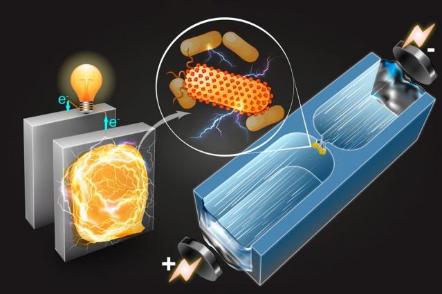 Elektrik istehsal edən bakteriyaları təyin etməyin üsulu kəşf edilib