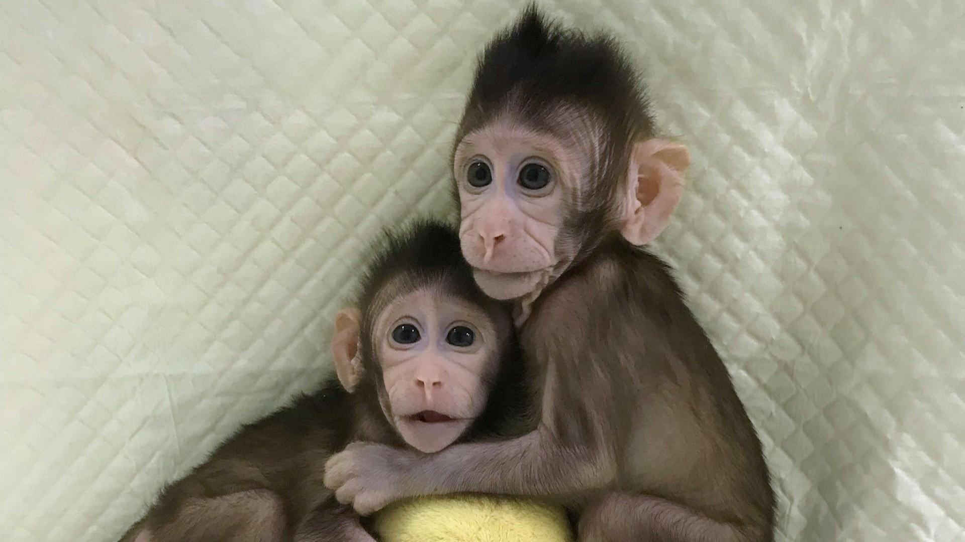 Dünyada ilk dəfə olaraq  meymun  klonlaşdırılıb