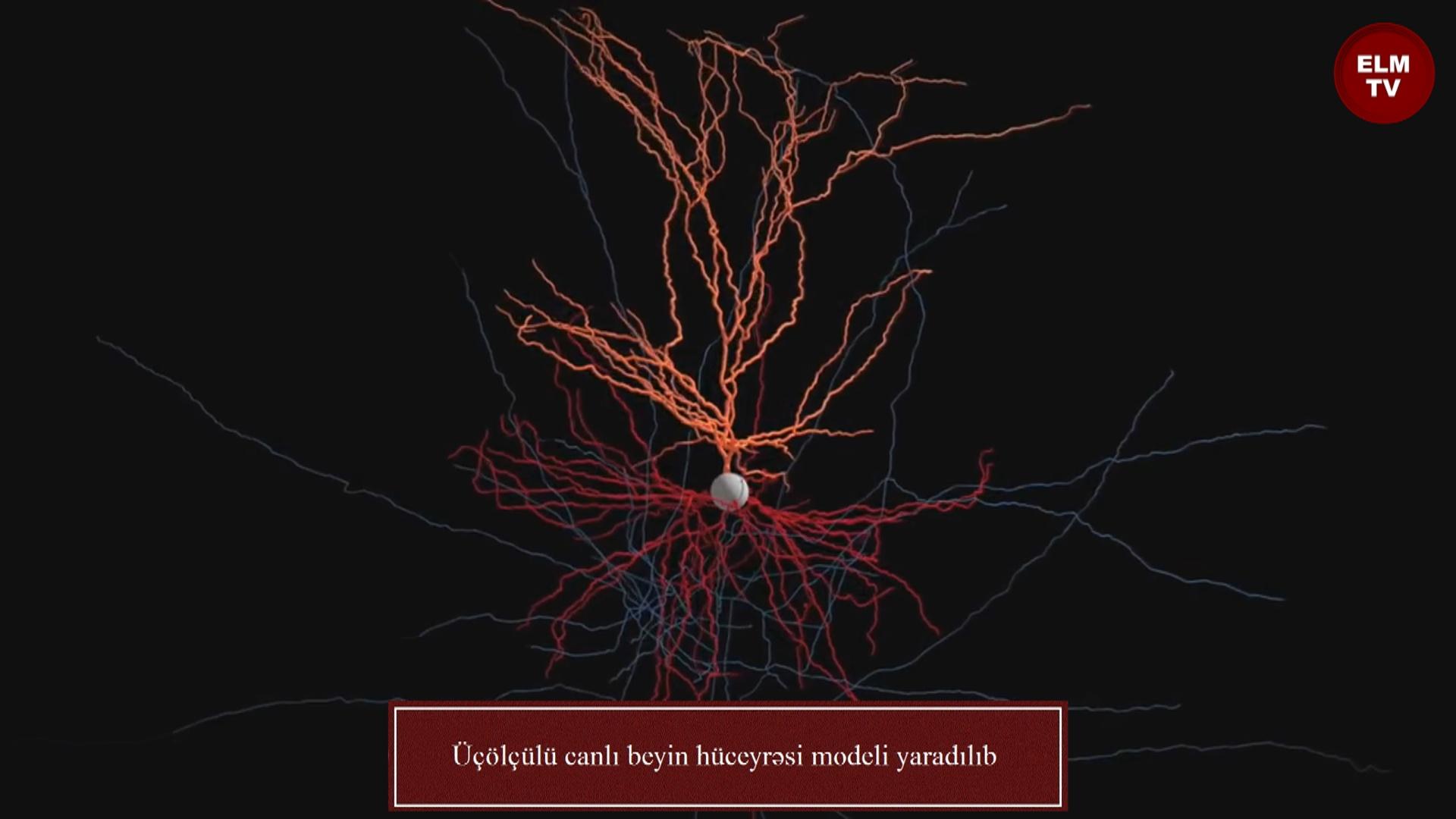 Üçölçülü canlı beyin hüceyrəsi modeli yaradılıb